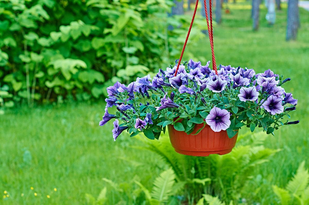 petunia, kwiaty na balkon