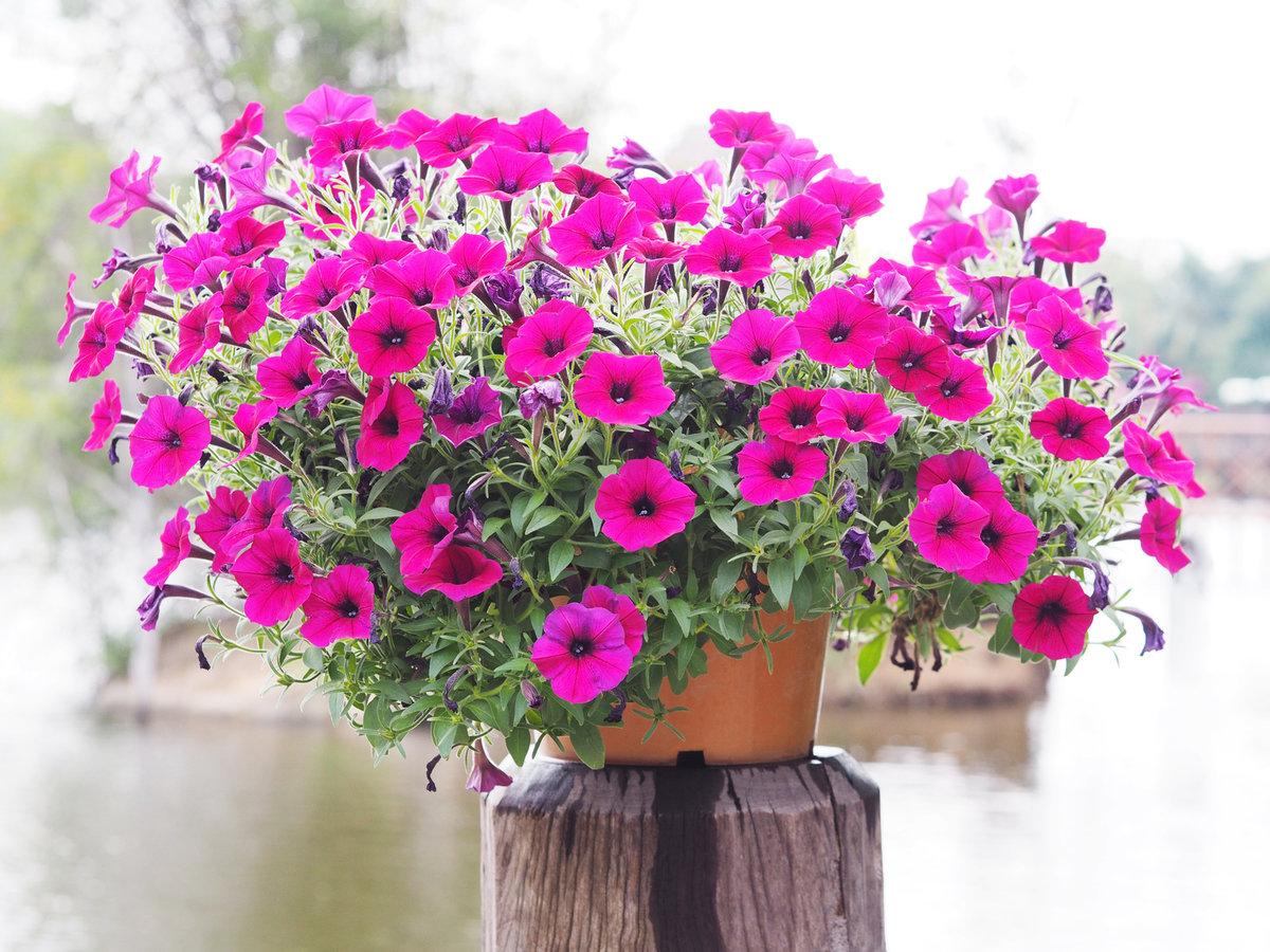 petunia, kwiaty na słoneczny balkon