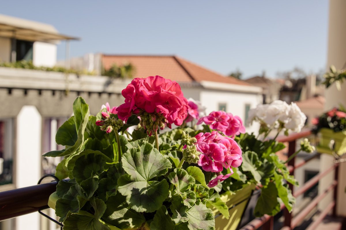 pelargonia, kwiaty na słoneczny balkon