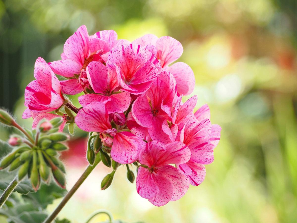 pelargonie, kwiaty na słoneczny balkon, jak sadzić pelargonie